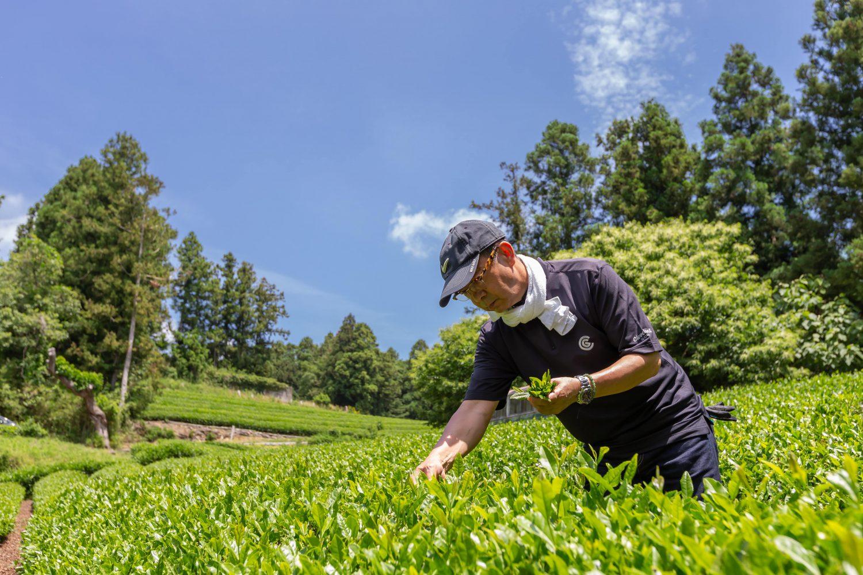 茶葉を手摘みする日野社長