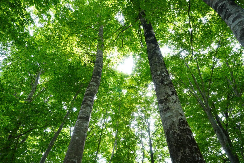緑が茂る白樺の木を下からみた様子